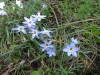 花韮 - だんご虫の花