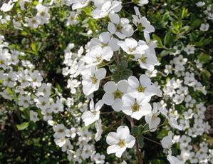 ユキヤナギの花 -