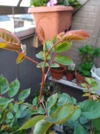 薔薇だけはなく - 美しく香りも素晴らしい薔薇 ガブリエル ベランダ栽培