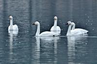 みちのく北帰行の白鳥たち2 - みちのくの大自然