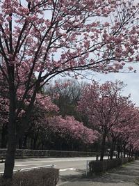 陽光桜一気に満開 - みちくさ 摘み草 語りぐさ