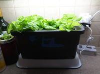 夫の室内水栽培・サラダ菜/アストロゼネカワクチン - 2度目のリタイア後のライフ