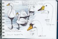 今月の鳥:2月 コブハクチョウ ハナさんのブログより - ブルーベルの森-ブログ-英国のハンドメイド陶器と雑貨の通販