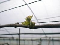 熊本ぶどう社方園芽吹き2021前編:今年も3パターンで収穫時期をずらして栽培です - FLCパートナーズストア