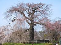円山公園の枝垂桜が咲き始めています - LLC徒然