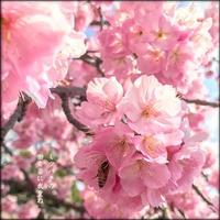 桜とミツバチ - すくえあのーと