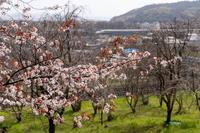 「桜の開花宣言出ました。でも、ハクモクレン」 - ほぼ京都人の密やかな眺め Excite Blog版