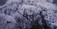 枝垂れ桜 I - Capu-photo Digital photographic Laboratory