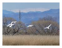 沼の鳥3月(ハクチョウ) - あおいそら