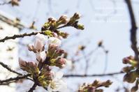 桜咲く春に。 - *Romantic caramel-香草菓子や粉と卵とおうちおやつ*