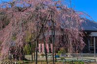 高麗の里の桜そろそろ始まる - デジカメ写真集