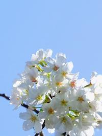 神田川桜散歩まだ早い2021/3/18 Tokyo - むっちゃんの花鳥風月  ( 鳥・猫・花・空・山 )