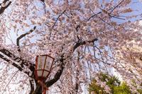 Opening!2021桜咲く京都長建寺の枝垂れ桜 - 花景色-K.W.C. PhotoBlog