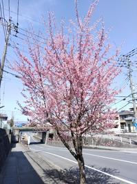 オカメザクラが開花 - 猫屋の今日も園芸日和〜ギボウシ達の庭〜