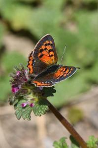 ベニシジミ・・・春ですね - 続・蝶と自然の物語