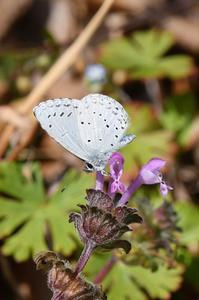 ルリシジミ・・・花に - 続・蝶と自然の物語
