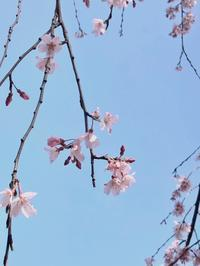 しだれ桜。。。山下公園 - umi no oto ♪