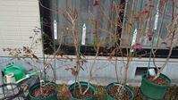 2021 10号鉢ブルーベリーの露地植え移植 in 周南市 - 初めてのブルーベリー栽培記