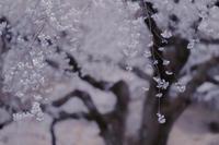 枝垂れ桜 II - Capu-photo Digital photographic Laboratory