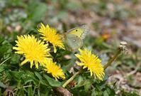 春のチョウ - 旅のかほり