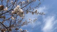 青空に映えて、桜がキレイ - ひとり言