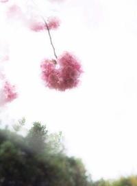 陽光桜 - さぬき風花