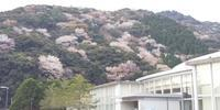 山桜が見ごろ。 - 米水津(大分県佐伯市)観光ブログ