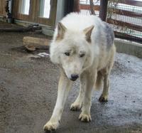 3月17日の円山動物園のオオカミ、ライオンなど - 黄金絹毛鼠(コガネキヌゲネズミ)