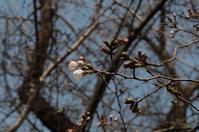 稲荷山公園桜の咲き始め - ひのきよ