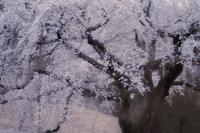 枝垂れ桜 III - Capu-photo Digital photographic Laboratory