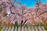 宝幢寺の枝垂れ桜 - デジカメ一眼レフ開眼への道