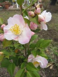 香り椿「舞姫」が咲きました。 - 花の自由旋律