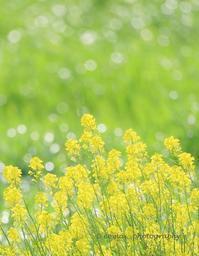菜の花 -  写道