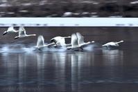 みちのく御所湖白鳥たち23 - みちのくの大自然