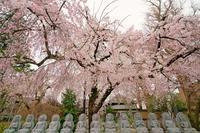 """HOUDOUJI """"Weeping cherry tree"""" - Hetaeigonikki's Blog"""