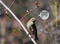 春分の日桜の開花宣言になり埼玉の片田舎もチラリとほころんできました! - Weblog : ちー3歩 Ⅱ