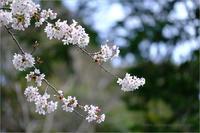桜の季節 - りゅう太のあしあと