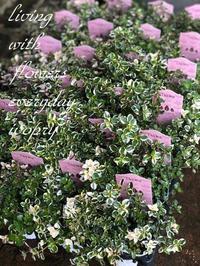 斑入りタイム〜♪ -  Flower and cafe 花空間 ivory (アイボリー)