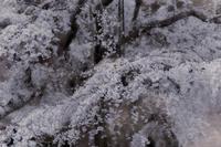 枝垂れ桜 Ⅳ - Capu-photo Digital photographic Laboratory
