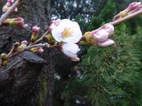 桜さく - しゅんこう日記