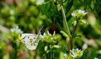 春分雀始巣その2 - 紀州里山の蝶たち