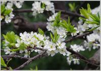 利休梅(りきゅうばい) - 花ありて 日々