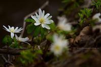 野沢温泉村アズマイチゲも咲いていました - 野沢温泉とその周辺いろいろ2