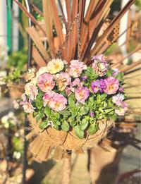 シエルブリエ、フリズルシズル、不織布を取ったお庭から♫ - 薪割りマコのバラの庭