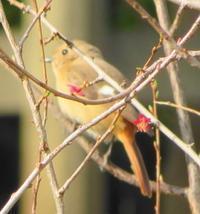 朝散歩野鳥観察ジョウビタキニリンソウのお花 - 風の彩