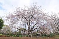城北公園の枝垂れ桜・1♪ - happy-cafe*vol.2