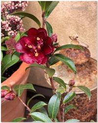 黒椿ナイトライダーが咲いた。 - 小さな庭 2