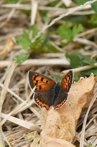 ベニシジミ - 続・蝶と自然の物語