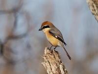 至近距離にモズのペア - コーヒー党の野鳥と自然パート3