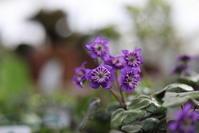 雪割草とボケの花 - 四季折々